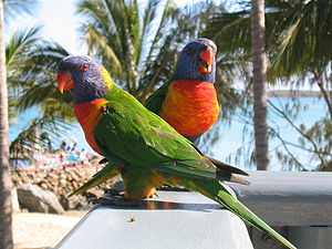 A pair of Raindow Lorikeets on the verandah of...