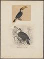 Ramphastos toco - 1700-1880 - Print - Iconographia Zoologica - Special Collections University of Amsterdam - UBA01 IZ19300228.tif