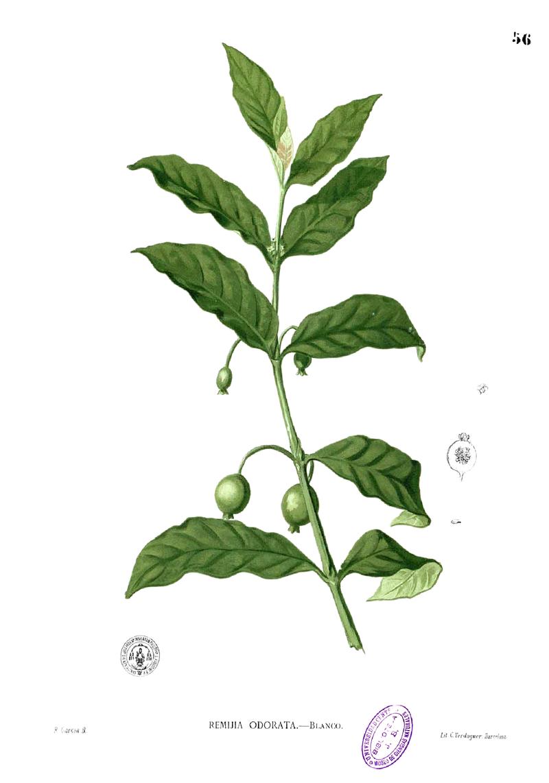Randia densiflora Blanco1.56.png