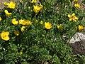 Ranunculus bulbosus a1.jpg