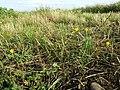 Ranunculus sardous subsp. sardous sl28.jpg