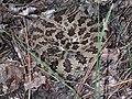 Rattlesnake (Marshal Hedin) ed.jpg