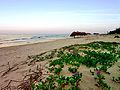 Rau muống biển ở Nhật Lệ.jpg