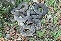 Recovered Lake Erie watersnake (Nerodia sipedon insularum) (8759070810).jpg