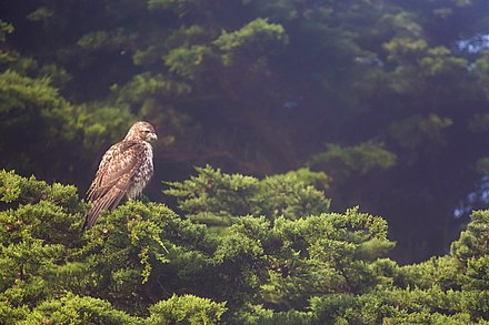 Red-tailed hawks prefer areas with groves of tall trees from which to hunt and to nest in Red-Tailed Hawk (23367515602).jpg