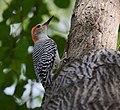 Red-bellied Woodpecker (23689499138).jpg