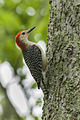 Red-bellied Woodpecker - Texas.jpg