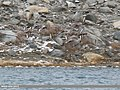 Red-crested Pochard (Netta rufina) (43219400581).jpg