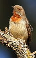 Red-throated Wryneck, Jynx ruficollis at Rietvlei Nature Reserve, Gauteng, South Africa (14748511574).jpg