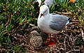 Red Billed Gull And Chick. (15353532182).jpg