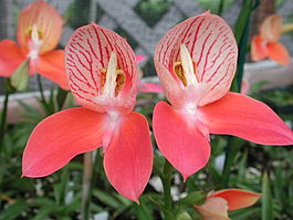 Red Disa uniflora.jpg