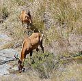 Red Hartebeests (Alcelaphus buselaphus) drinking ... (32429185761).jpg