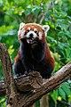 Red Panda (26245539869).jpg