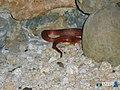 Red Rock snake Msa HallerP.jpg