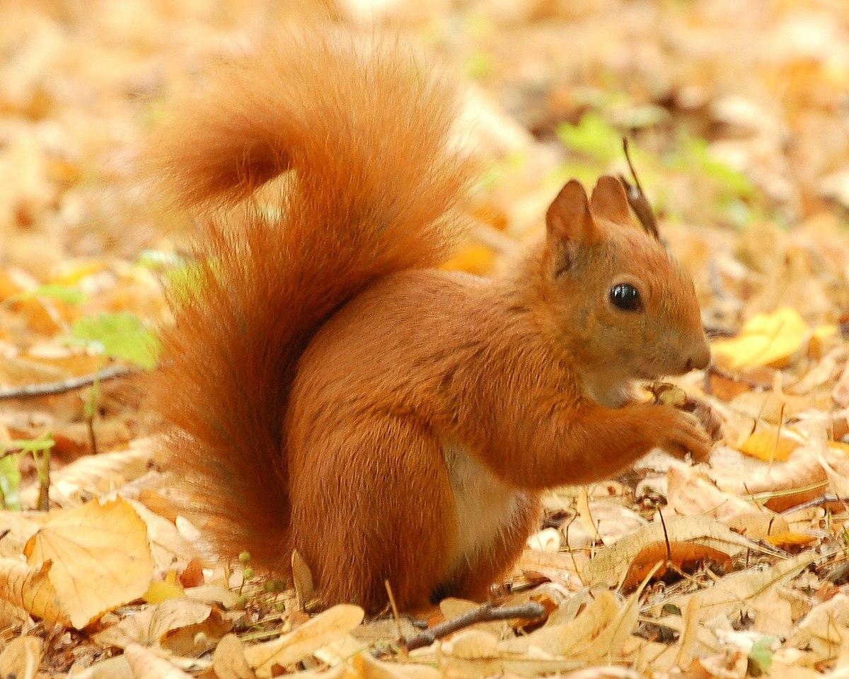 1200px-Red_Squirrel_-_Lazienki.JPG