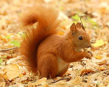 220px-Red_Squirrel_-_Lazienki.JPG