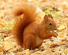 L'Ecureuil hiberne t-il ? dans ECUREUIL
