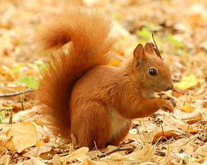 Red Squirrel - Lazienki.JPG