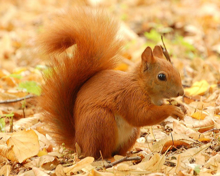 751px-Red_Squirrel_-_Lazienki.JPG