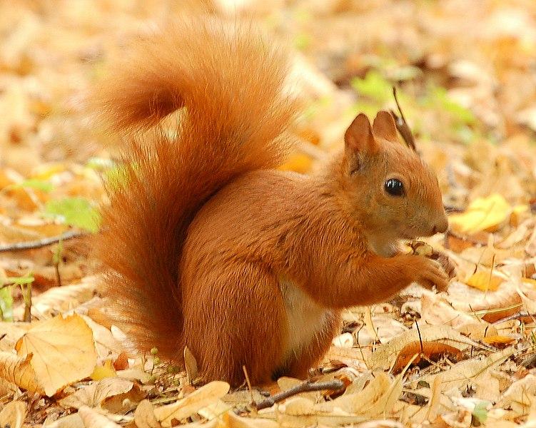 external image 751px-Red_Squirrel_-_Lazienki.JPG