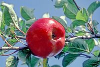 Red Victoria on tree, National Fruit Collection (acc. 1922-015).jpg