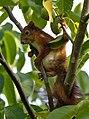 Red squirrel (50863541268).jpg