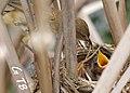 Reed Warbler feeds chicks (1280x851).jpg