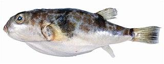 <i>Reicheltia halsteadi</i> species of fish