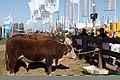 Reproductores ganadería 2.jpg
