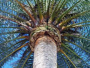 Rhynchophorus ferrugineus - Hard pruning as a way of fighting against the red palm weevil