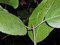 Rhamnus cathartica 5456158.jpg