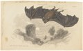 Rhinolophus ferrum equinum - 1700-1880 - Print - Iconographia Zoologica - Special Collections University of Amsterdam - UBA01 IZ20700139.tif