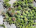 Rhodiola rosea (female and male).jpg