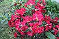 Rhododendron Elviira 4.JPG