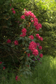 Rhododendron P0691.png