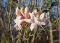 Rhododendron atlanticum flowers0