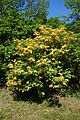Rhododendron calendulaceum - Arnold Arboretum - DSC06727.JPG