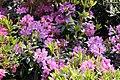 Rhododendron catawbiense Grandiflorum 9zz.jpg