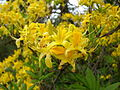 Rhododendron luteum BOGA.jpg
