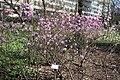 Rhododendron mucronalatum Koreanatsalea IM7364 C.JPG