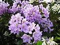 Rhododendron violett - panoramio.jpg
