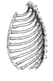 Rib Cage (PSF).png