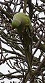 Ring Necked Parakeet (Psittacula krameri) - geograph.org.uk - 1174032.jpg