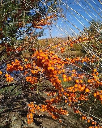 Hippophae - Ripe berries of sea-buckthorn. Selenginsky district, Buryatia, Russia