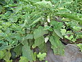 Rishpon, Shefa Farm, lil plant.JPG