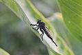 Robber Fly (Asilidae) (14735299260).jpg