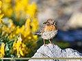 Robin Accentor (Prunella rubeculoides) (36261710314).jpg