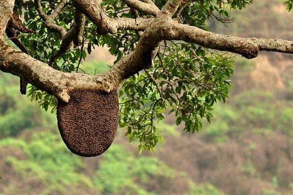 Rock bee in the Anamalai Hills
