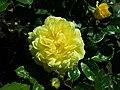Rosa Arthur Bell 2019-05-29 4118.jpg