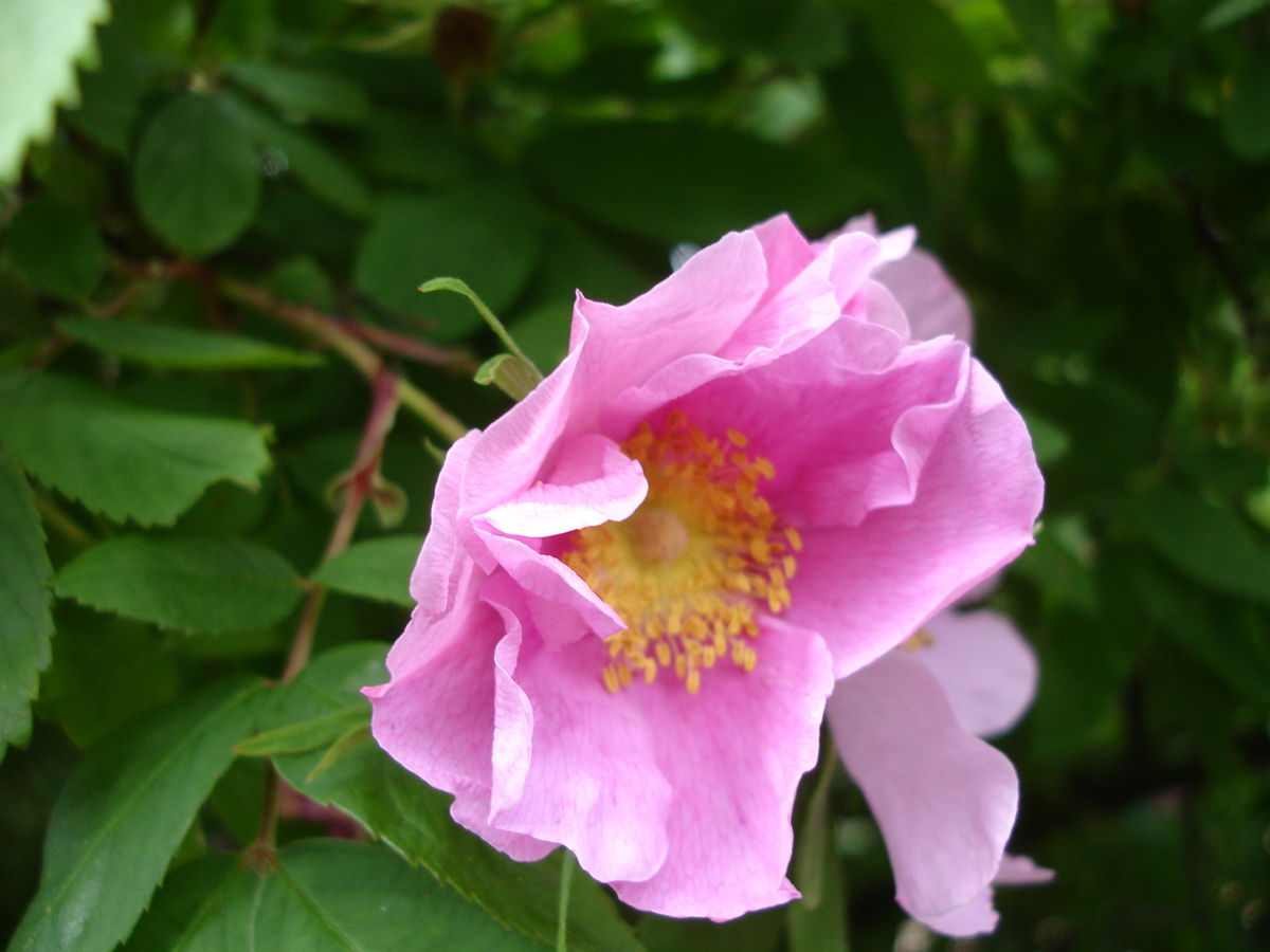 Rosa davurica - Wikispecies
